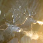 Red deer stags in Richmond park, south west London. <span class=