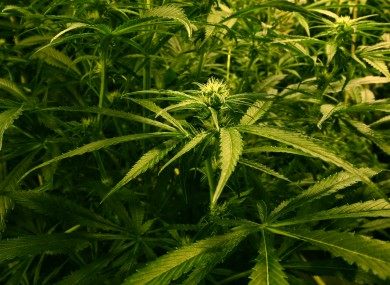 File photo of cannabis plants.