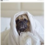 Norm, an adorable pug from outside Seattle, has almost 200,000 followers.<span class=