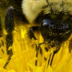 Pollen sticks to a bee as it gathers nectar from a dandelion on a spring afternoon in Philadelphia. <span class=