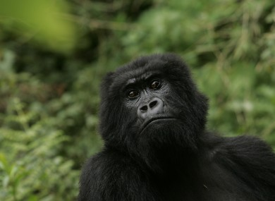 A gorilla at Volcanoes National Park in Ruhengeri, Rwanda.