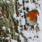 A robin in snowfall at Gortin near Omagh, as many parts of the UK were on snow alert with wintry showers threatening to disrupt travel.<span class=