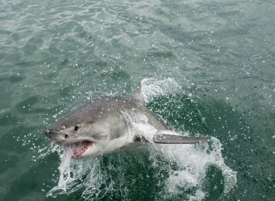 Huge shark jumps three metres onto fishing boat · TheJournal ie