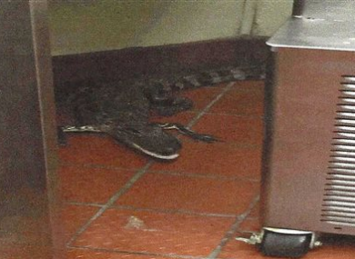 This photo provided by the Florida Fish and Wildlife Conservation Commission shows an alligator in the kitchen of a Wendy's Restaurant in Loxahatchee.
