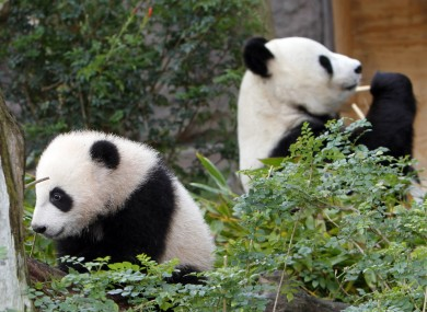 Yun Zi, left, the five-month-old panda cub plays in one of the panda exhibit areas at the San Diego Zoo.