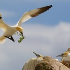 John O'Neill of Waterford took this shot of gannets feathering their nest on the Saltees.