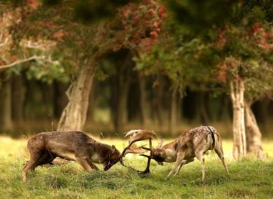 Fallow deer clash antlers during the rutting season in Phoenix Park, Dublin in October.