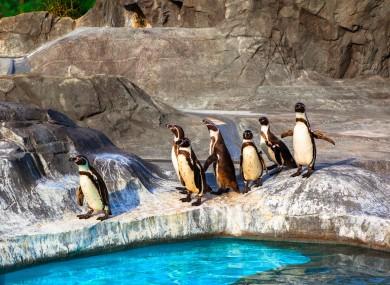 File photo of humboldt penguins