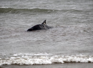 File photo of a whale stranded on Bull Island in 2013.