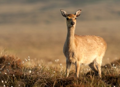 A young Sika deer in low sunlight in Co. Wicklow.