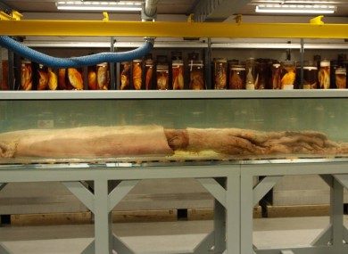 A 30ft long giant squid caught off the Falkland Islands