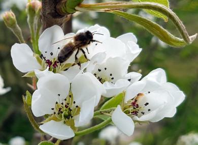 Native Irish Honey Bee Apis mellifera mellifera on Pear Blossom.