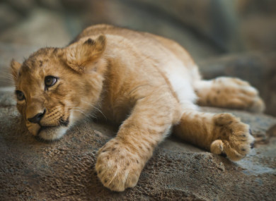 half starved lion cub found wasting away in abandoned paris apartment