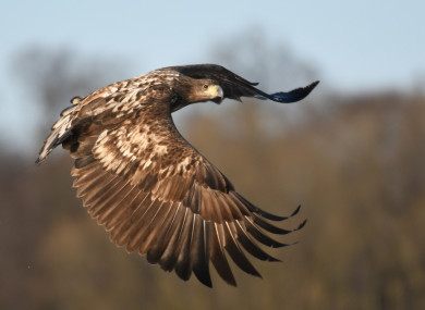 ireland makes headlines in norway when a white tailed eagle is