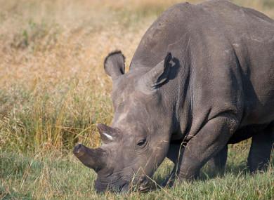 Last male northern white rhino dies in Kenya · TheJournal ie