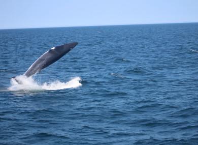 A minke whale breaching in the wild