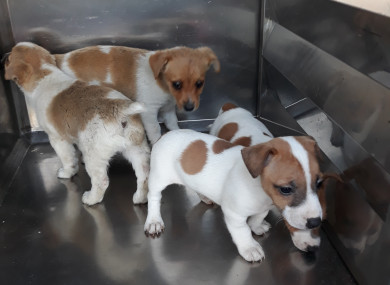 These four Jack Russell puppies were seized at Dublin Port yesterday.