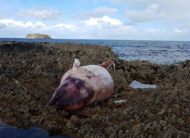 A Cuvier's beaked whale that washed ashore earlier this month in Donegal.