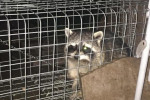 Cork woman uses dog nuts to capture one-eyed raccoon lurking in her garden