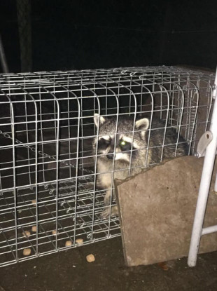 Maureen Blight caught the raccoon in her back garden.