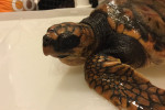 Rare loggerhead turtle receiving care after stranding on Donegal beach