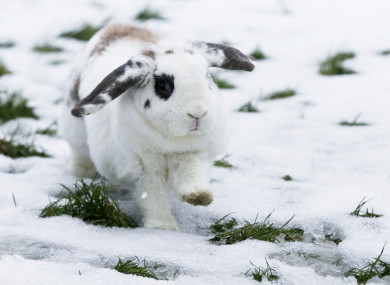 A rabbit pictured in snow in Dublin in March 2018.