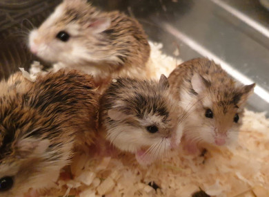 The Roborovski Dwarf hamsters