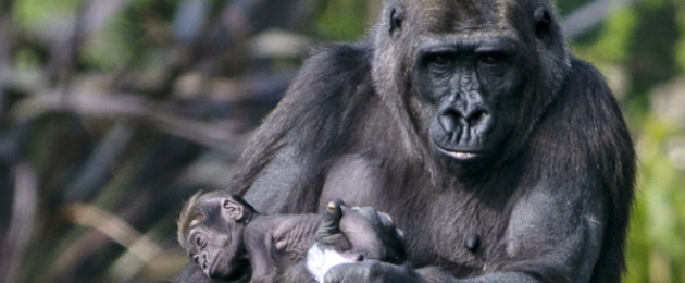 Mother Kafi holds her newborn baby at Dublin Zoo