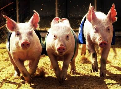 Pigs taking part in a race in Australia.