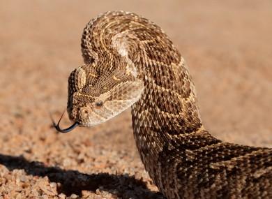 Puff adders are a venomous viper species.