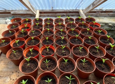 The suspected cannabis plants in an early stage of growth.