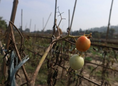 Tomatoes growing on a farm in Nepal