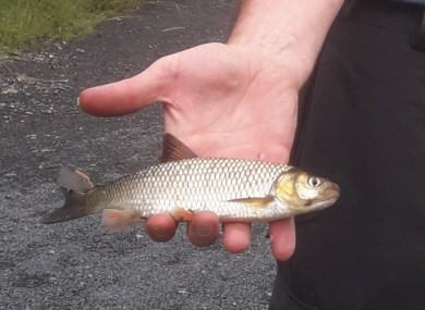 A Chub fish: Inland Fisheries Ireland are investigating the extent of the invasion