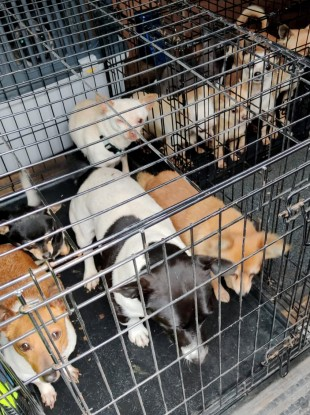 Some of the 32 dogs seized by gardai in north Dublin in November.
