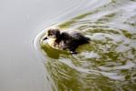 A duckling in Herbert Park.