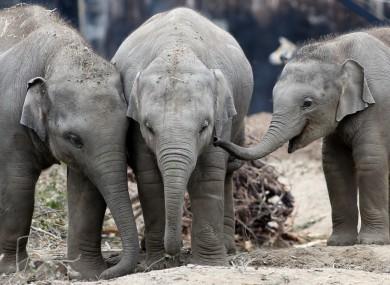Baby Asian elephants at Dublin Zoo