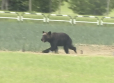 The wild brown bear wounded four people, entered a military camp and disrupted flights at an airport.