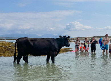 Bathers are joined by a cow on Mannin Bay Beach in Ballyconneely, Co Galway today.