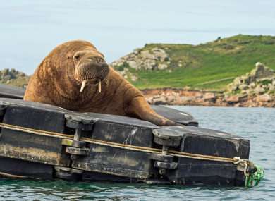 Wally the walrus at the Isles of Scilly in July.