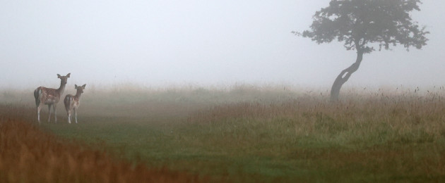 Deer in the Phoenix Park in Dublin this morning.