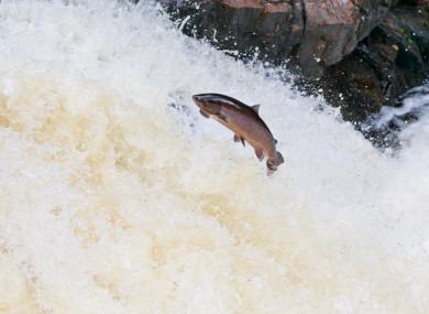 File photo. Leaping salmon