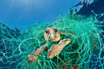 A loggerhead turtle is ensnared in an old plastic fishing net in the Mediterranean Sea off the coast of Spain.